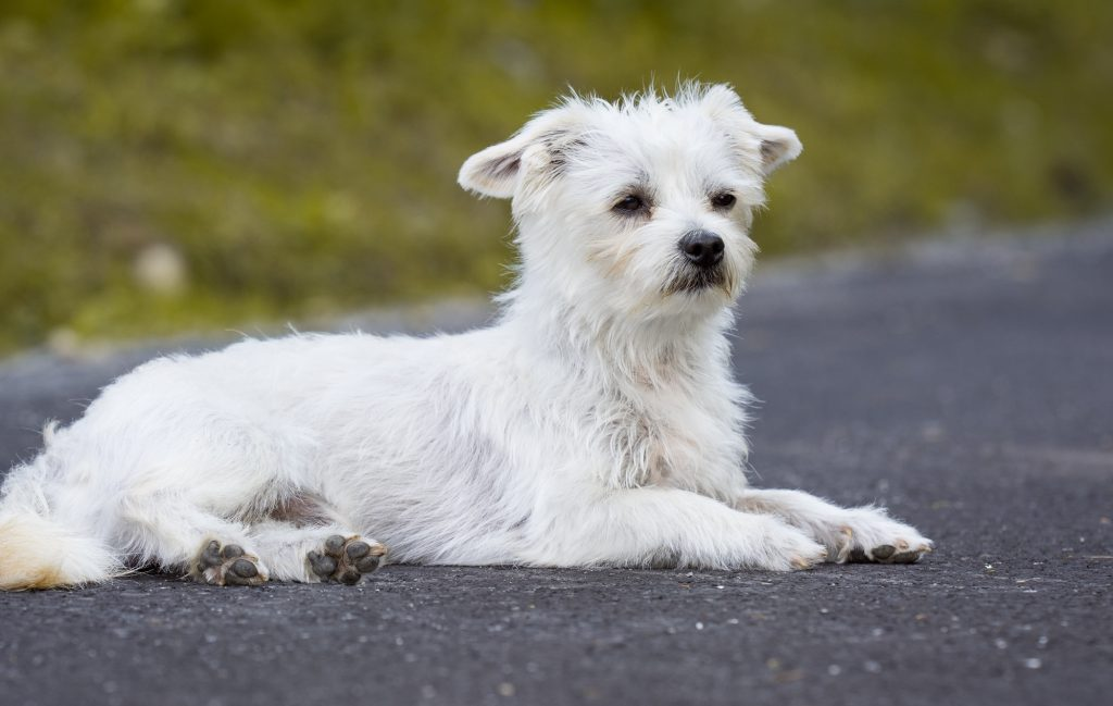 dog-white-white-dog-small-dog-163794