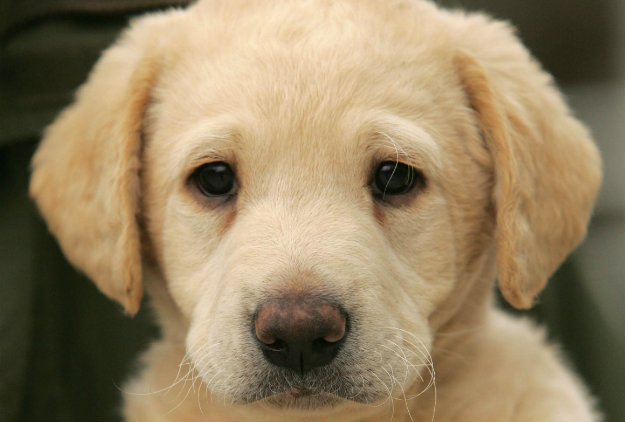 golden-labrador-puppy-